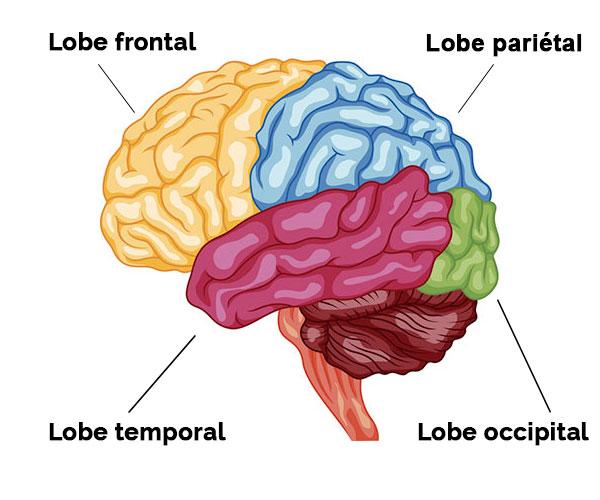 lobes cerveau
